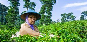 Pagilaran Agrotourism Batang