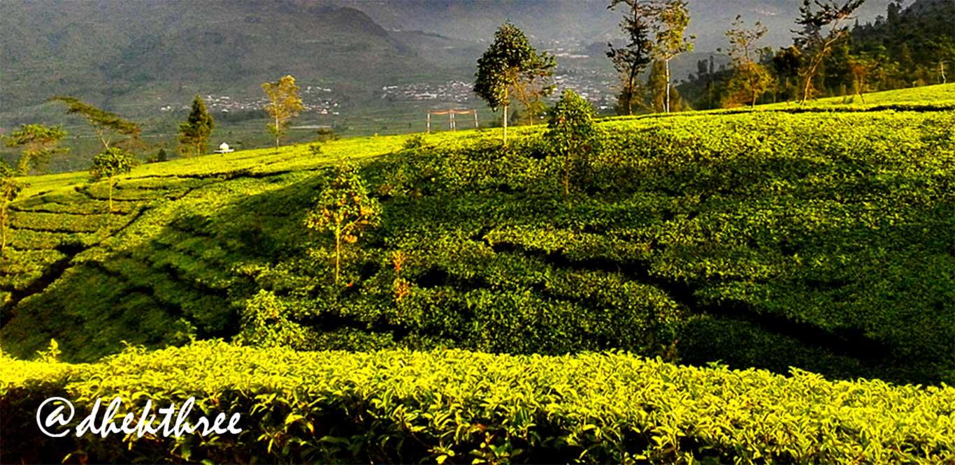 Tambi Tea Plantation